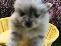 We have teacup and toy pom puppies available from