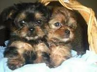 Beautiful teacup shorkie puppies ( shihtuz /Yorkie