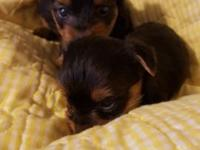 I have some beautiful yorkie babies available they will