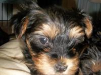 Excellent Yorkshire Terrier puppies TEXT ME ON,(303)