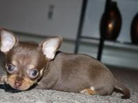 CKC Chihuahua Puppies. They are now 10 weeks old and