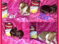 Teacup Apple head Chihuahua puppies 2 boys 1 girl 6