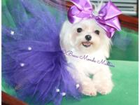 Teacup Female Maltese for sale. Top Quality Female