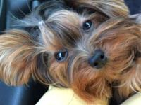 Hi, I have a gorgeous darling Yorkie woman. She was