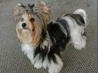 Teacup Breeds Yorkies, Maltese, and Morkies Parti