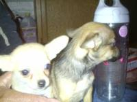 Teacup Chihuahua puppies. DOB 08/08/2012. Purebreed. 1