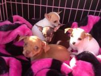 I have 4 - 8 week old Teacup Chihuahua puppies ( 3 male