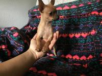 Teacup female chihuahua five months old done