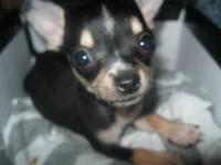 Hi there i have a teacup chihuahua i got him but i need