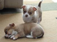 Hello, I have 1 boy chihuahua left out of 3, born on
