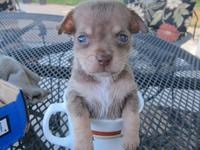 two beautiful teacup chihuahua (male & female ) need a