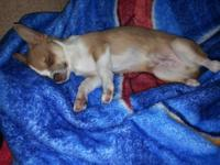 Hey there I have teacup chihuahua for sale $200.00.