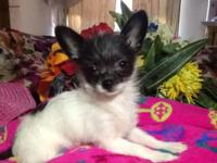 Tiny teacup Chihuahuas we have 2 infant ladies that are