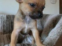 I have a 1yr. old teacup chihuahua for sale ~ female.