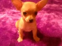 Very sweet and very tiny teacup Chihuahuas. Great with