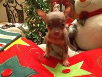 Teacup Chihuahua's, 9wks, we have 1-boy and 3-girls,