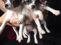 We have two little females available. The will both