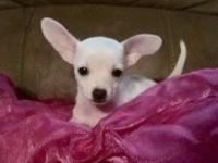 Female chihuahua puppy now ready for her home. She is