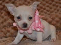 Tiny Teacup Chihuahua Female. CKC Reg. Sir 2.5lbs