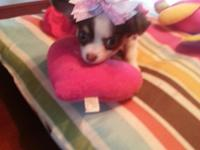 we have 2 stunning teacup chihuahua puppies left for