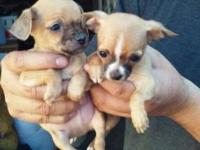 PUREBRED TEACUP CHIHUAHUA PUPPIES, 3 1/2 MONTHS OLD, 3
