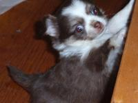 Four chihuahua puppies for sale, three longhair, one