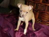 Chihuahua Puppies 2 males and 1 female available. They