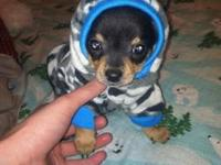 "1 male ""teacup"" chihuahua puppy left. will be around"