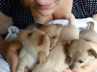 I have 4 actually charming small Chihuahua puppies.