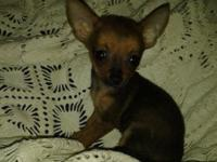 I have two female teacup chihuahua puppies. They have