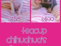 We have 2 teacup chihuahua young puppies prepared for