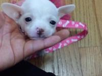 Two female chihuahua young puppies, one is solid white