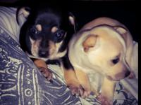 Teacup chihuahua puppies are ready. They are 9 weeks