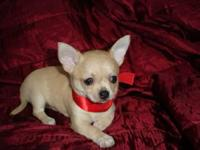 Beautiful and pure teacup chihuahua puppies, 10 weeks