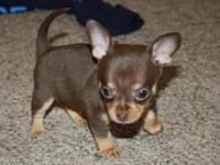 CKC Chihuahua Puppies born upon November 7th 2014. They