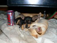 Teacup chihuahua puppie ((estacada)) 14 week old