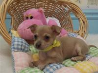 Teacup Chihuahua puppies for sale , Microchipped