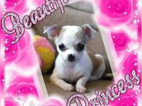 AKC & ACA Reg. Teacup Chihuahua Puppies For Sale!!!