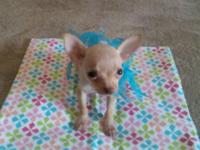 We have a male Chihuahua puppy that will be ready for