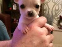 I have one male teacup chihuahua puppy he is 11 weeks