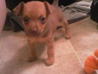 Tiny purebred Chihuahua puppy, playful and healthy.