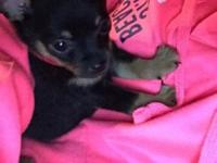 We have three teacup chihuahua puppies. They've had