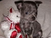 Lilac teacup female chihuahua. 6 weeks old. Very active