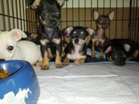 Teacup chihuahua's ready to go to there new home. Born
