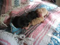 I am taking deposit's on these cute Teacup Chihuahua's.