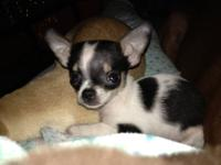 I HAVE A CKC REGISTERED, VERY SWEET TINY, TEACUP,