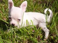 beautiful akc teacup and.. tiny toy Chihuahuas for