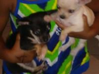 1 blk/tan male and 1 cream colored female is now ready