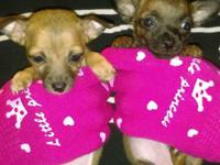 Teacup Chihuahua puppies 10wks old very small males &