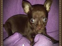 All female tiny applehead teacup Chihuahuas for sale.